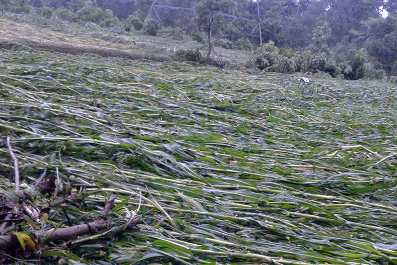 Maize crops destroyed by monsoon rains triggered floods in Dang, on Saturday, August 12, 2017. Photo: RSS