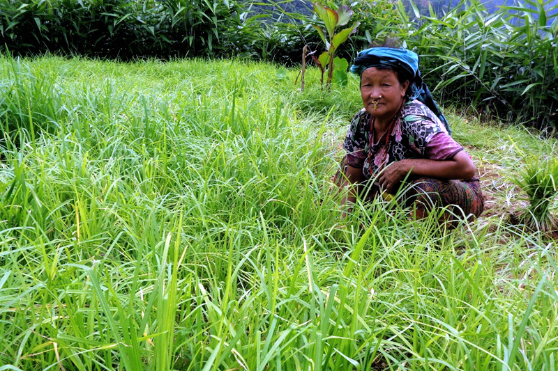 A woman uproots millet seedlings in a filed in Ilam, on Tuesday, August 1, 2017. Photo: RSS