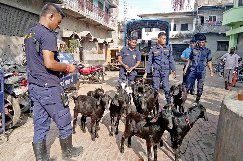 Police making public smuggled live goats from India in Birgunj Metropolitan City, on Wednesday, August 23, 2017. Photo: Ram Sarraf