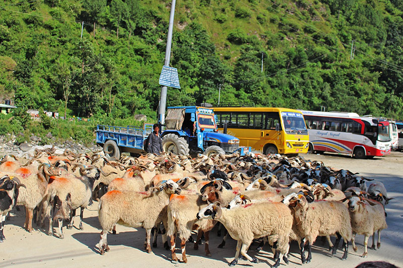 Billy goats being brought to Beni from Mustang for the upcoming Dashain and Tihar festival, on Sunday, September 17, 2017. Photo: RSS