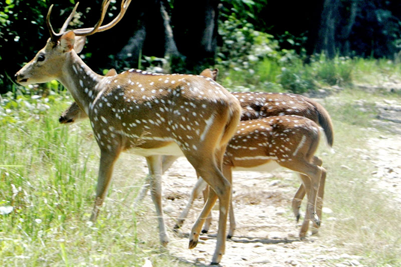 Spotted deers seen in Bardiya National Park on Tuesday, September 19, 2017. Photo: RSS