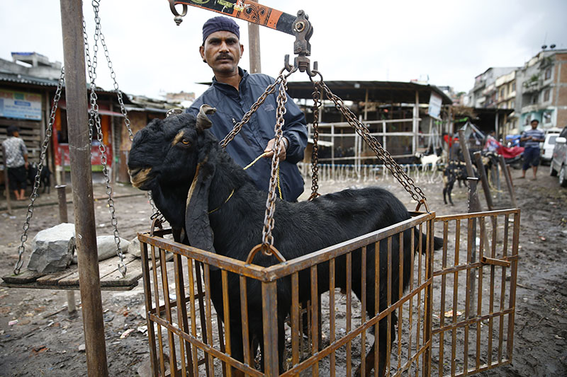 A vendor weighs a goat before selling it to customers at a livestock market during Dashain festival in Kathmandu, Nepal on Thursday, September 21, 2017. Photo: Skanda Gautam