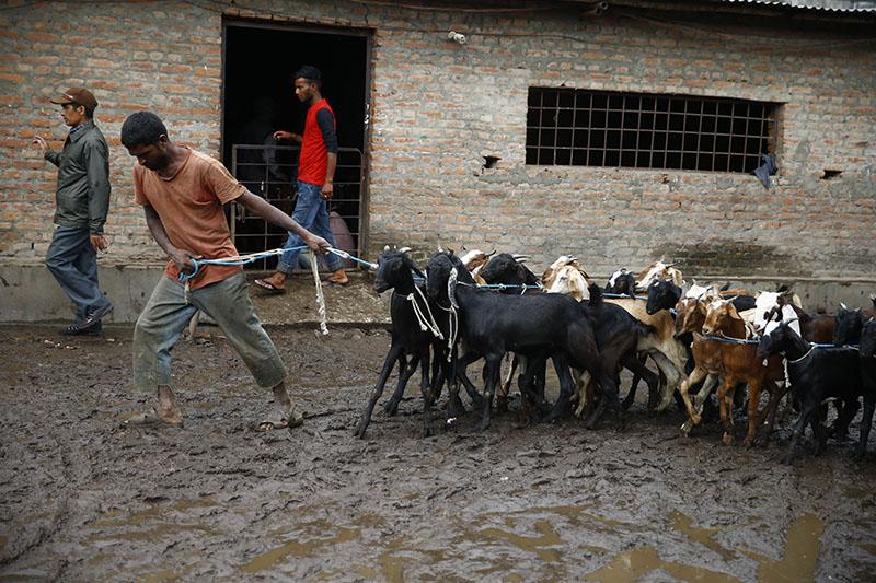 A vendor drags a herd of goats to sell them in market during Dashain festival in Kathmandu, Nepal on Thursday, September 21, 2017. Photo: Skanda Gautam