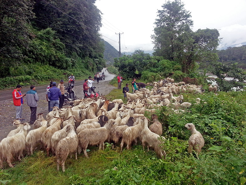 Mountain goats being brought from Mustang for sell during Dashain Festival in Pokhara, on Friday, September 22, 2017. Photo: Rup Narayan Dhakal