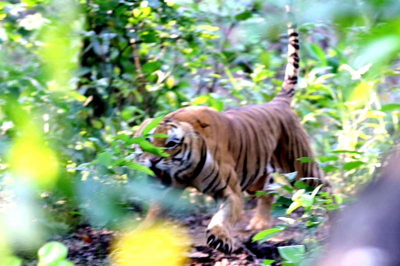 An endanderedspecies of Tiger seen in Bardia National Park, Bardiya, on Thursday, September 14, 2017. Photo: RSS