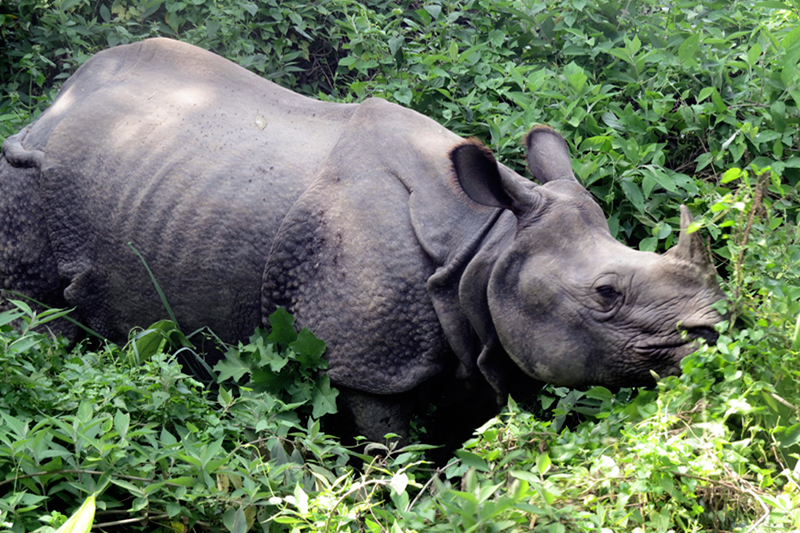 A one-horned rhinoceros foraging in Chitwan National Park, in Chitwan district, on Monday, September 25, 2017. Photo: RSS