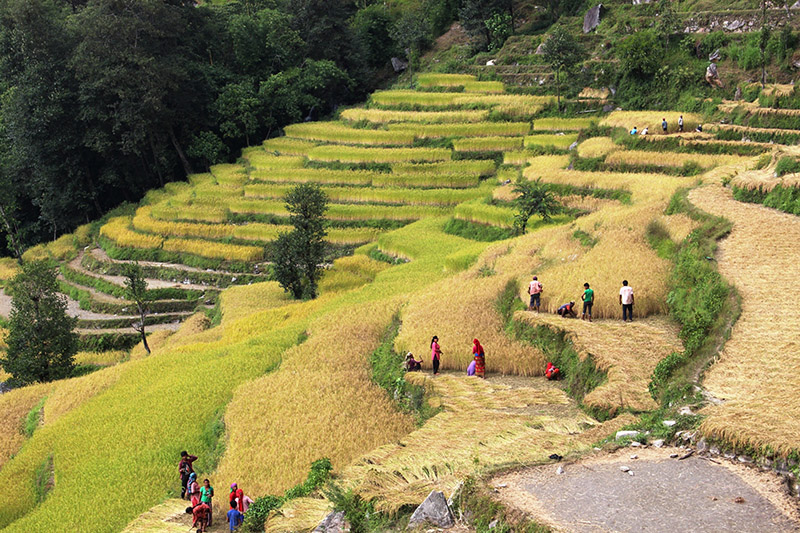 Farmers harvesting paddy crop at Sailaja in Jaljala Rural Municipalit-6 in Parbat district, on Wednesday, October 25, 2017. Photo: RSS
