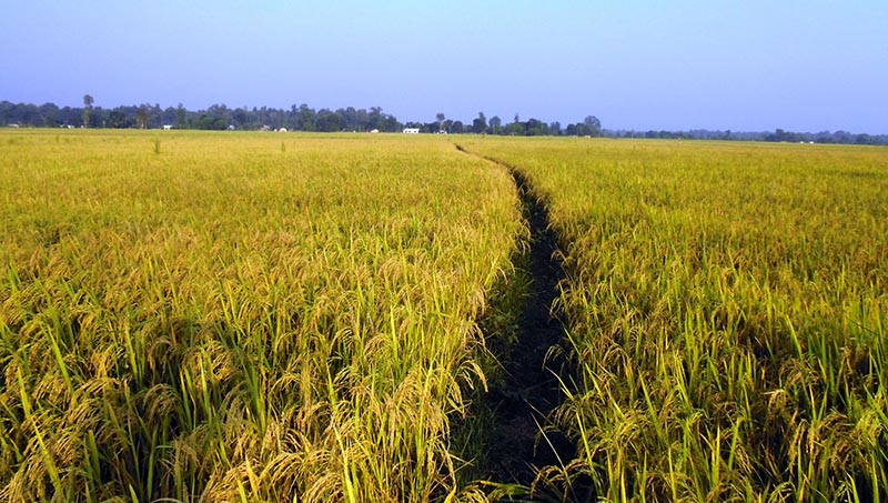 A view of a paddy field growing Pahelpur (an Asian variety) rice in Dhakaniya village of Kanchanpur district, on Monday, October 9, 2017. Photo: RSS