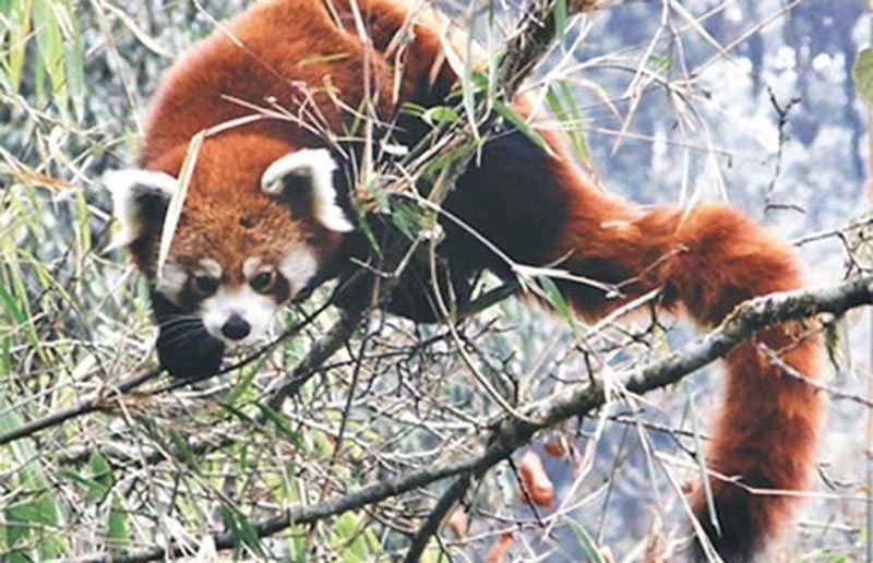 FILE - A red panda sighted in Panchthar, on Tuesday, October 3, 2017. Photo: THT