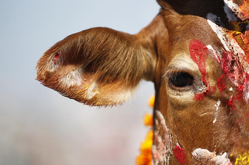 A cow stands decorated with vermilion powder after being worshiped during Tihar festival celebrations in Kathmandu, Nepal, on Thursday, October 19, 2017. Photo: AP