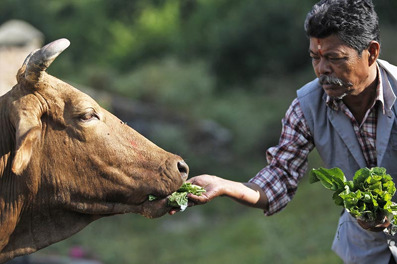A devotee feeds a cow after performing worship rituals on it during Tihar festival celebrations in Kathmandu, Nepal, Thursday, October 19, 2017. Photo: AP