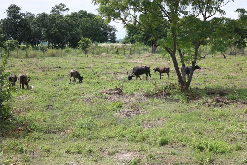 A herd of translocated water buffaloes foraging in the open enclosure in Purano Padampur area of Chitwan National Park, on Monday, October 2, 2017. Photo: Tilak Ram Rimal