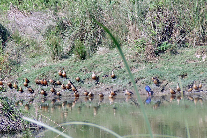 Various birds ans swnas throng a near Lamital in Chitwan National Park in Chitwan district, on Tuesday, November 28, 2017. Photo: Tilak Ram Rimal