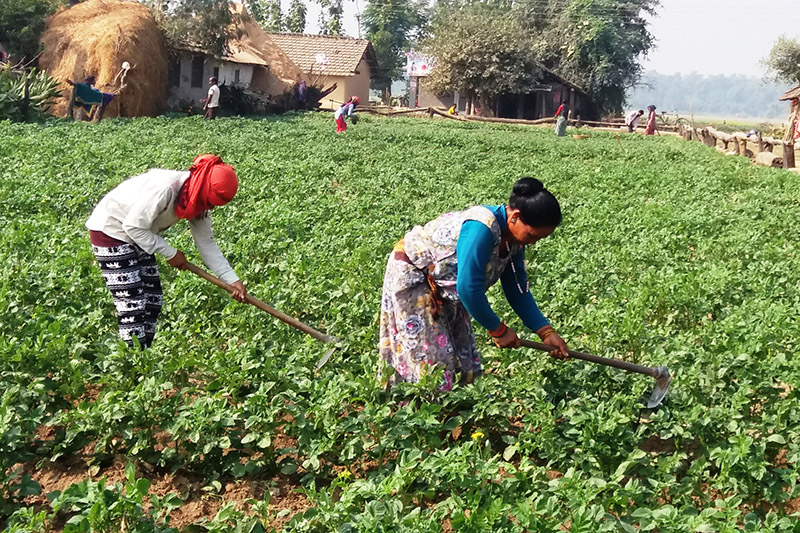 Farmers working in their farm at Pipaladi in Sukhlaphanta Municipality-3 in Kanchanpur district, on Wednesday, November 29, 2017. Photo: RSS