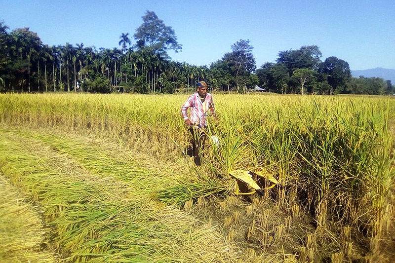 A farmer uses handmachine to harvest paddy in Jhapa district, on Monday, November 06, 2017. Photo: RSS
