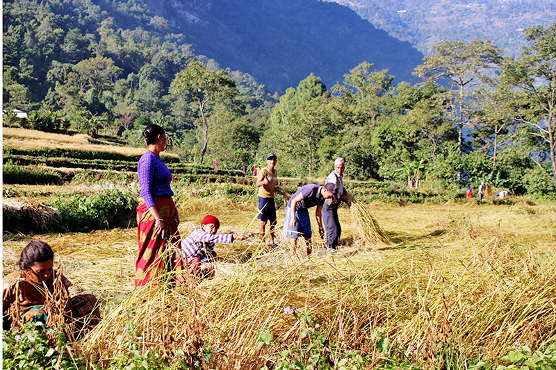 Farmers harvesting paddy at Bagarphat in Beni Municipality-2 of Myagdi district, on Friday, November 03, 2017. Photo: RSS