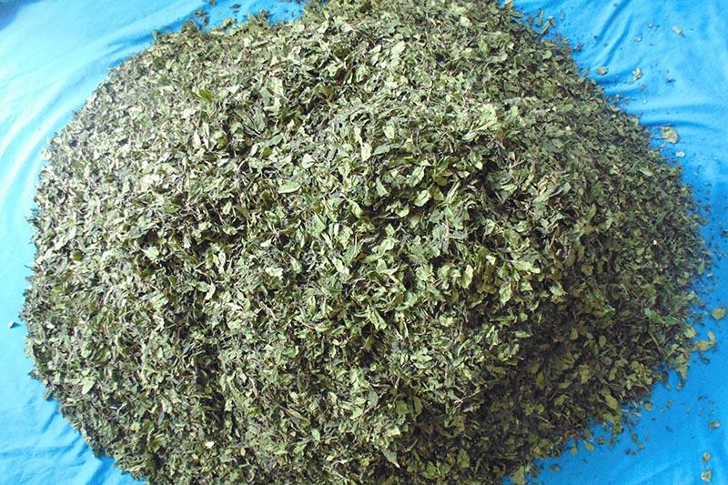 Khat (catha edulis), a stimulant plant native to Nepal. Photo: NCB