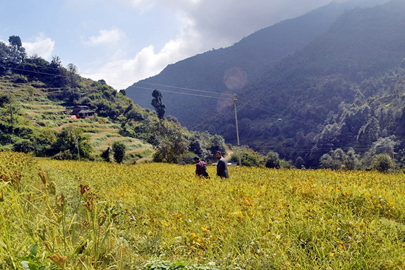Villagers walking through a millet field at Thadakhani in Raghuganga Rural Municipality-6 in Myagdi district, on Tuesday, November 07, 2017. Photo: RSS