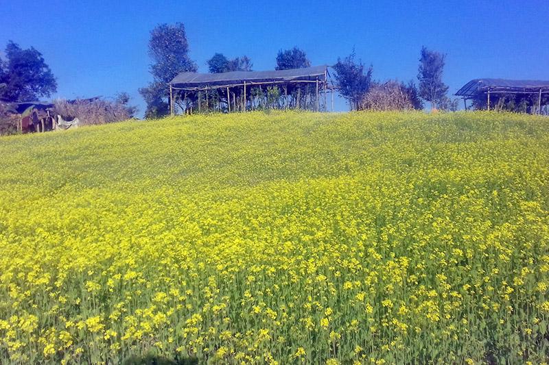A green lush mustard field in Palpa district, on Sunday, Novemeber 12, 2017. Photo: RSS