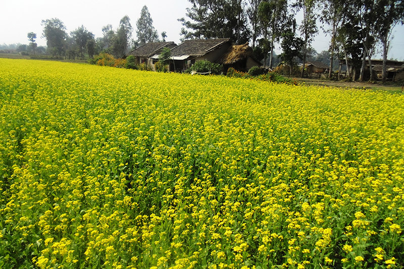 A view of green lush mustard field in Kanchanpur district, on Wednesday, November 08, 2017. Photo: RSS