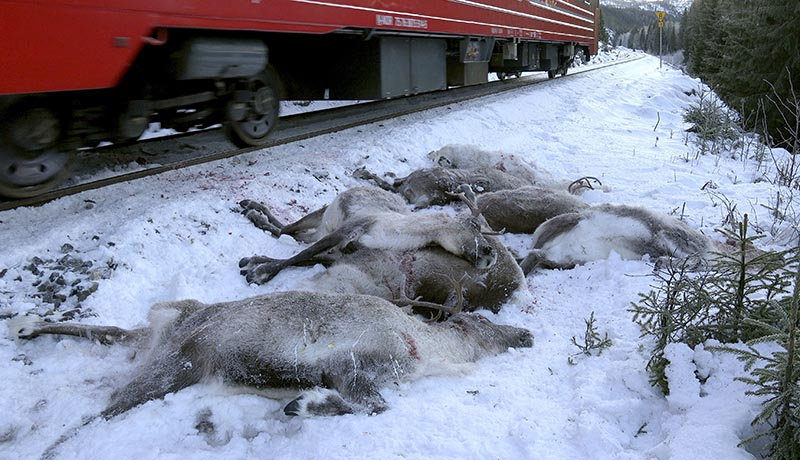In this grab taken from video made available on Sunday, November 26. 2017, a train passes by dead reindeer, near Mosjoen, North of Norway.  Photo: John Erling Utsi, NTB scanpix via AP