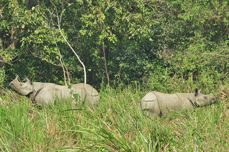 One-horned rhinos seen near Lamital in Chitwan National Park, in Chitwan, on Sunday, November 26, 2017. Photo: Tilak Ram Rimal/THT