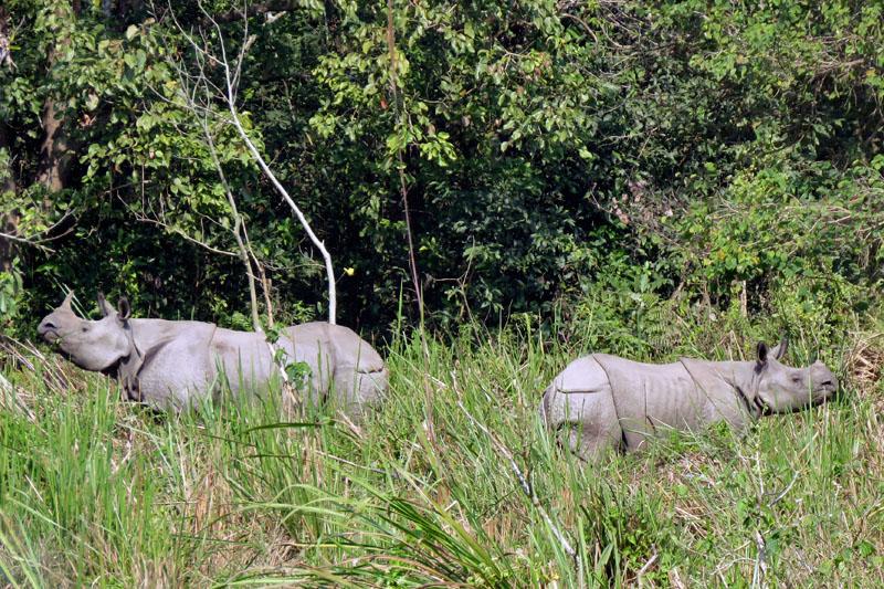 Endangered one-horned rhinos are seen roaming inside Chitwan National Park in Chitwan district, on Sunday, November 26, 2017. Photo: Tilak Rimal