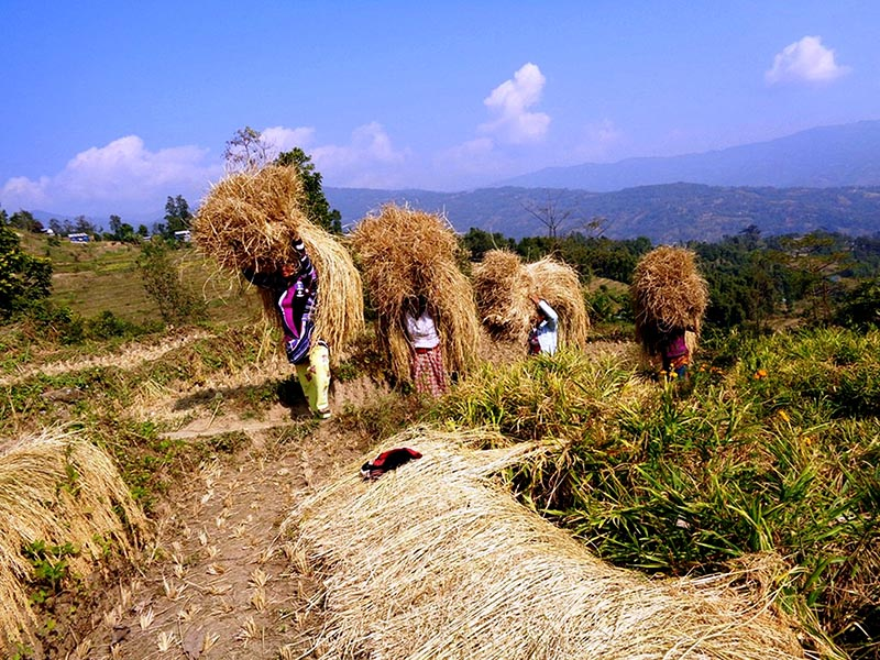 Women harvesting rice in Phuetappa of Phakphokthung Rural Municipality-4 in Ilam district, on Saturday, November 25, 2017. Photo: RSS