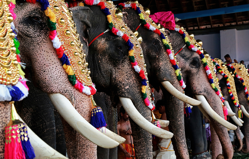 Caparisoned elephants take part in the annual Vrischikolsavam festival, which features a colourful procession of decorated elephants along with drum concerts, at a temple in Kochi, India, November 18, 2017. Photo: Reuters