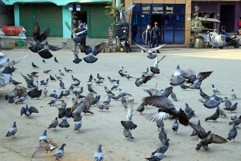 A flock of pigeons are seen in Palpa Bazaar, Palpa as captured on Monday, November 27, 2017. Photo: RSS