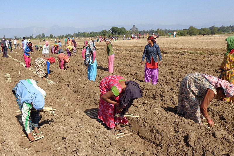 Farmers planting sugarcane in a field at Kanchanpur district, on Thursday, November 23, 2017. Photo: RSS