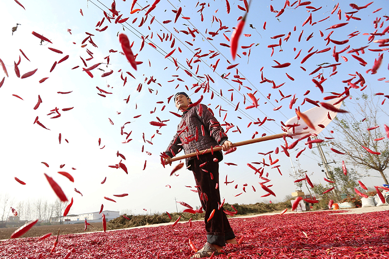 A farmer spreads red chili to dry at a village in Huaibei, Anhui province, China November 10, 2017. Picture taken November 10, 2017. REUTERS/Stringer ATTENTION EDITORS - THIS IMAGE WAS PROVIDED BY A THIRD PARTY. CHINA OUT.     TPX IMAGES OF THE DAY