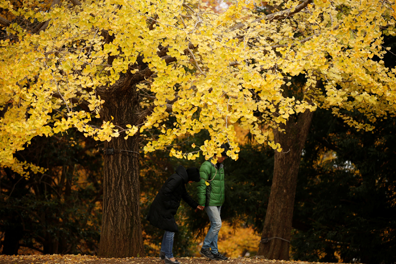 Visitors stroll under yellow ginkgo leaves at a park in Tokyo, Japan November 22, 2017. Photo: Reuters