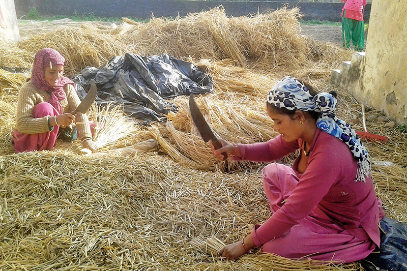 Farmers cut paddy straw for cultivating mushroom in Sukhlaphanta Municipality in Kanchanpur district, on Thursday, December 21, 2017. Photo: RSS