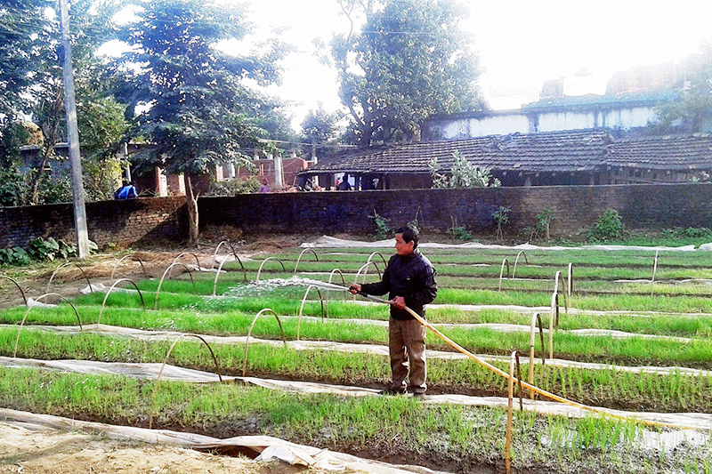 A farmer sprinkles water onto the oninon saplings in Suklaphanta Municipality-10 in Kanchanpur district, on Thursday, December 21, 2017. Photo: RSS