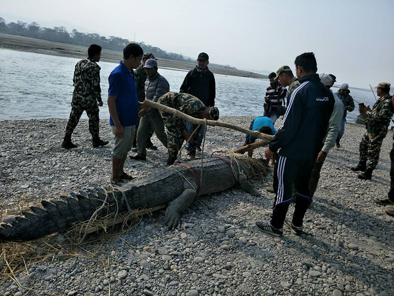 A male Ghadiyal crocodile being released at Khoriya, bank of Rapti, in Chitwan, on Saturday, December 23, 2017. Photo: Tilak Ram Rimal