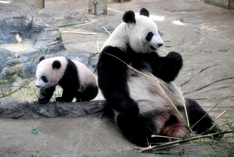 Female giant panda cub Xiang Xiang (L) walks beside her mother Shin Shin (R) at Ueno Zoo in Tokyo on December 19, 2017. Xiang Xiang appeared to the public the first time at the zoo. Photo: Reuters