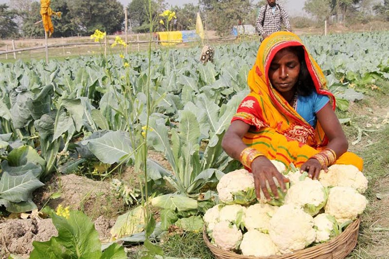 A Musahar woman preparing to take cauliflower grown in a field to the market, in Koiladi, Saptari, on Friday, December 29, 2017. Photo: THT