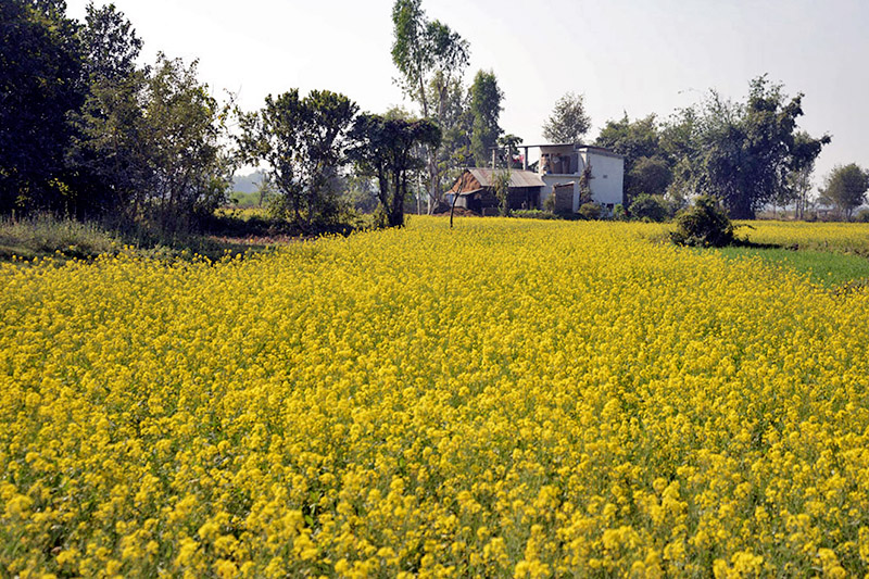A spectacular view of mustard field in Birgunj, on Tuesday, December 26, 2017. Photo: RSS