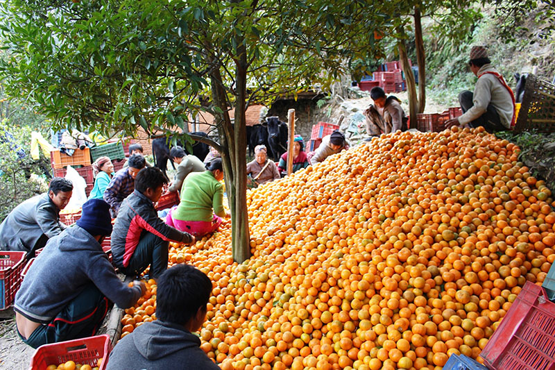 Farmers preparing to sent locally produced oranges to a nearby market, in Rakhu of Beni Municipality-3 in Myagdi district, on Thursday, December 21, 2017. Photo: RSS