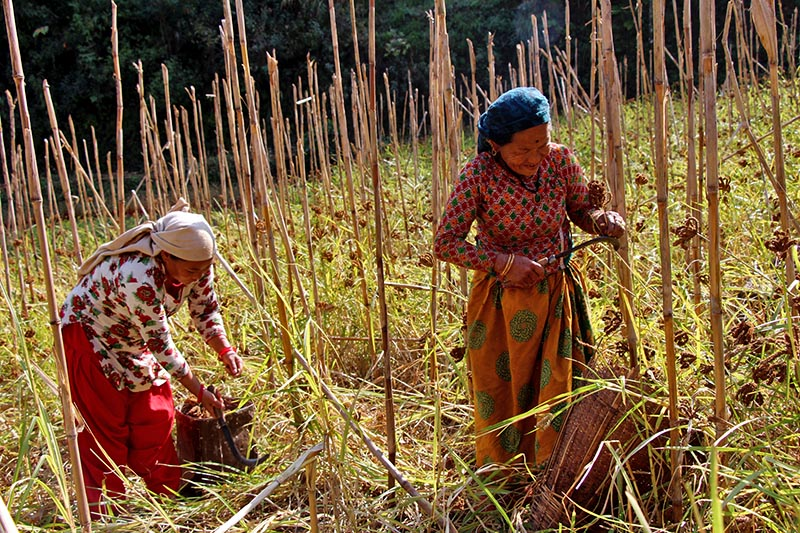 Local women are seen harvesting ripe millet in Ringnehar of Pubhakhola Rural Municipality-3 in Palpa district, on Saturday, December 2, 2017. Photo: RSS