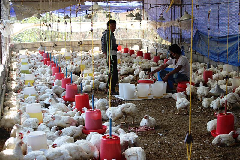 Farmers working in their poultry farm at Beni Municipality-8 in Myagdi district, on Friday, December 22, 2017. Photo: RSS