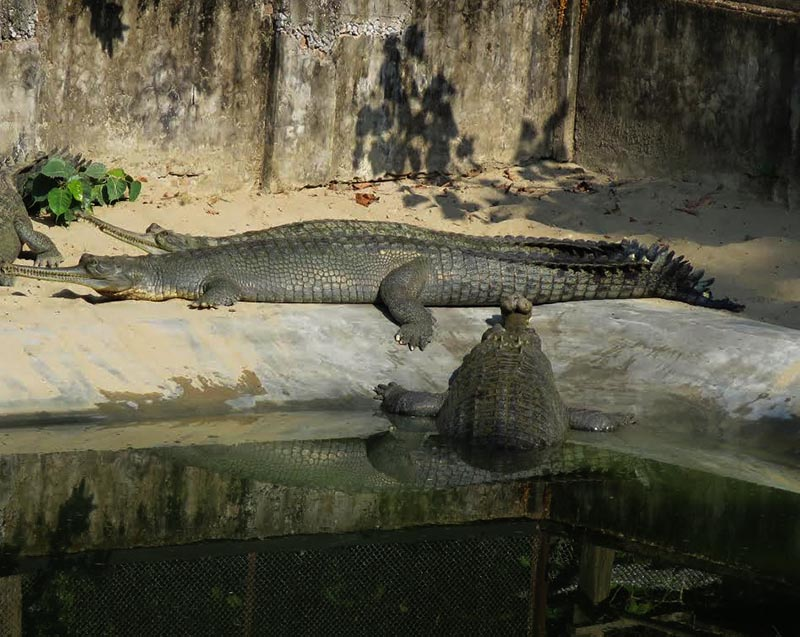 A female gharial at Kasara-based Gharial Breeding Centre, in Chitwan National Park, on Friday, December 22, 2017. Photo: THT