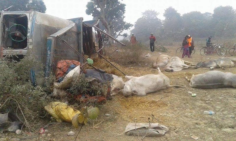 A view of a truck that met with an accident and oxen killed in the incident at Rupnagar, Kanchanrup Municipality, Saptari, on Thursday, January 18, 2018. Photo: THT