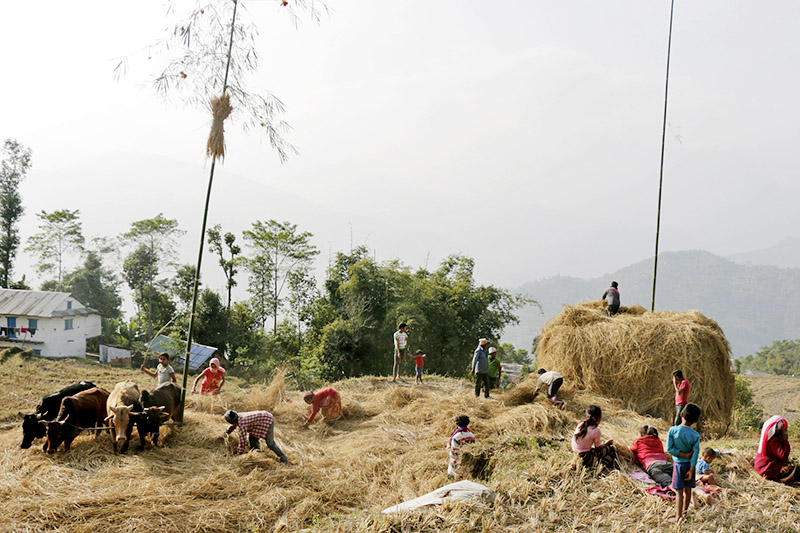 Oxen being used to remove seeds from stalks and husks of paddy crops in Khadbari Municipaliy-8, Sankhuwasabha district, on Monday, January 01, 2018. Photo: RSS