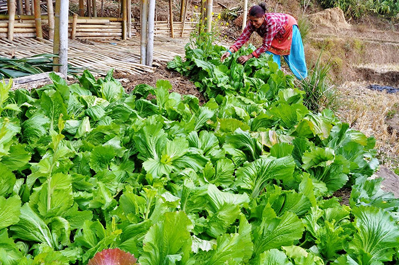 A woman is seen working at her vegetable farm in Ilam district, on Sunday, January 28, 2018. Photo: RSS