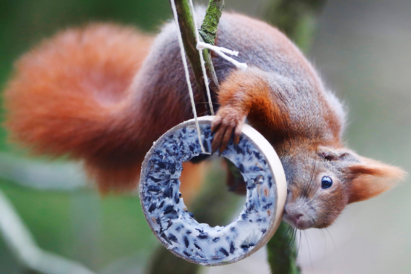 A red squirrel takes bird food at a tree in Berlin, Germany, January 13, 2018. Photo: Reuters