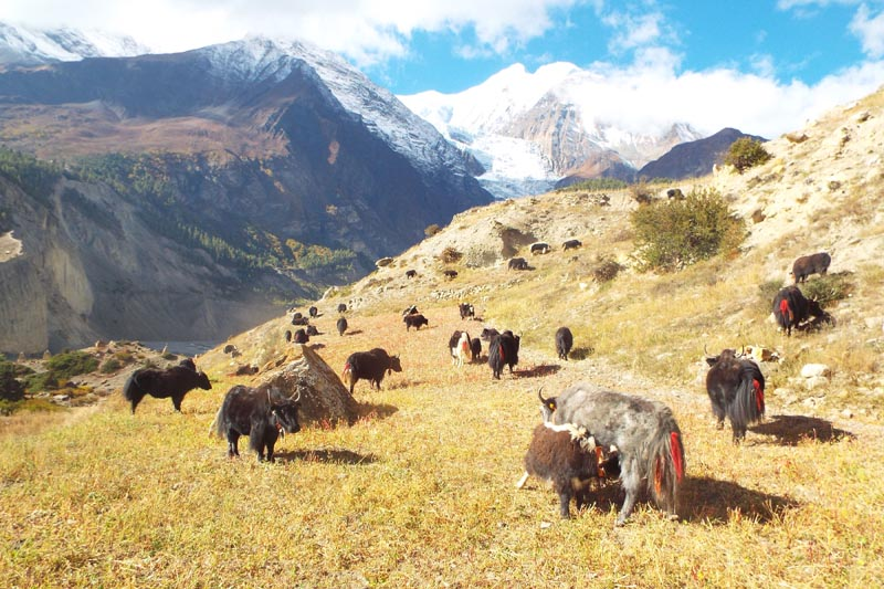 Herds of Yak grazing in a field in Nesyang Rural Municipality-6 of Manang district, on Tuesday, February 27, 2018. Kancha Gurung (32) rears 60 yaks and has made a fortune on this business earning millions. Photo: RSS