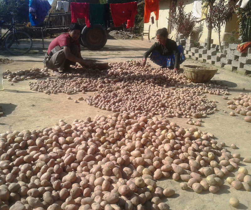 A farmer grades potatoes with his hands in Pipladi of Kanchanpur district on February 11, 2018 as there are no machines to grade the potatoes. Photo: Rajendra Prasad Paneru.