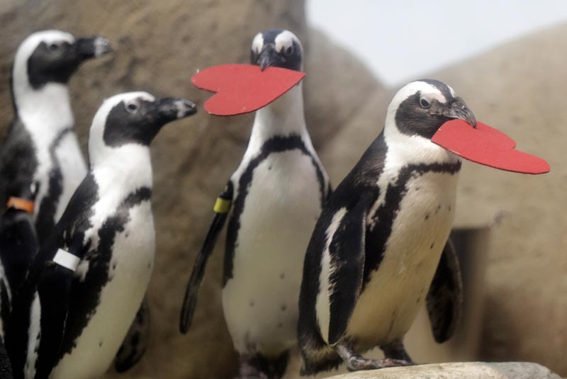 Penguins carry heart-shaped nesting material given to the them by biologists as a Valentine's Day promotion at the California Academy of Sciences Tuesday, February 13, 2018, in San Francisco. Photo: AP